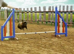 Bruce on the agility course